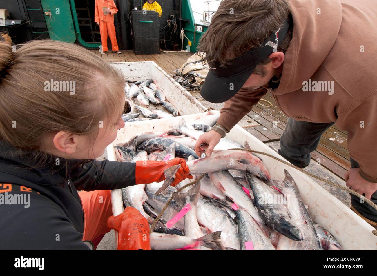 Ocean Beauty Seafoods führt Qualitätskontrolle auf Rotlachs an Bord eine Ausschreibung in Ugashik Bay, Stockbild