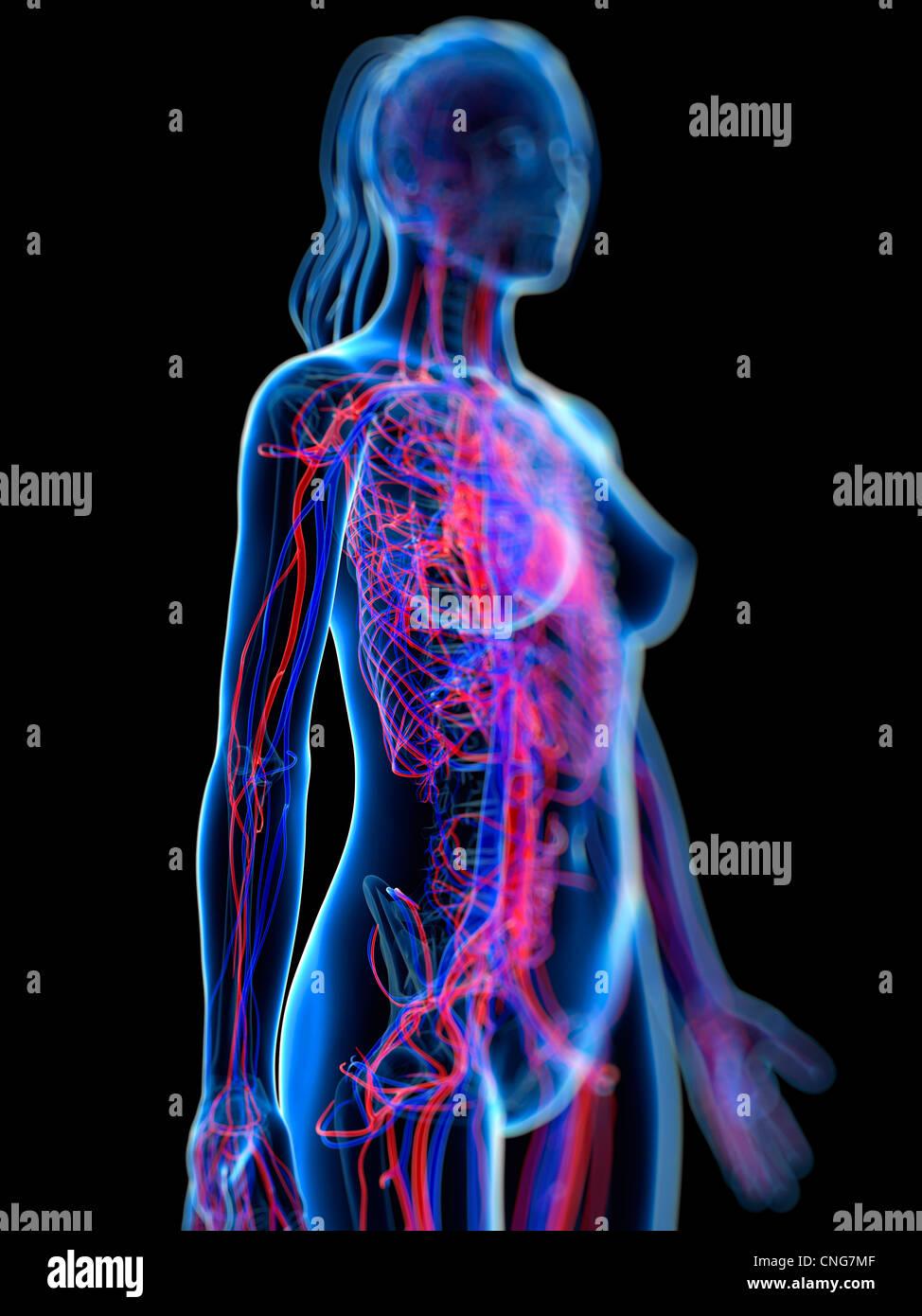 Herz-Kreislauf-System Kunstwerk Stockbild