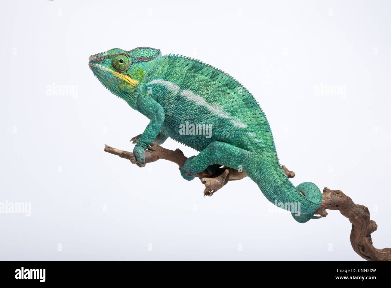 Panther Chamäleon (Furcifer Pardalis) Ambilobe Form, Männchen, Klettern auf Ast Stockbild