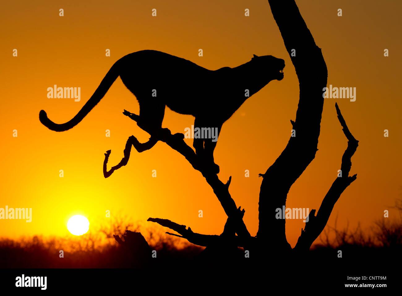 Afrikanischer Leopard (Panthera Pardus) bei Sonnenaufgang, Silhouette, Südafrika Stockbild