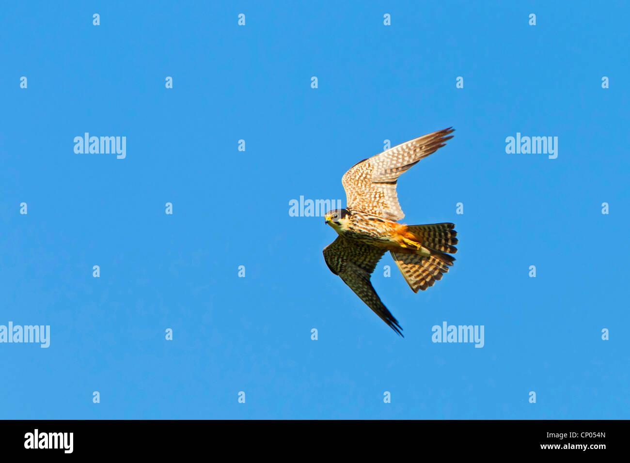 nördlichen Hobby (Falco Subbuteo), fliegen, Deutschland, Rheinland-Pfalz Stockbild