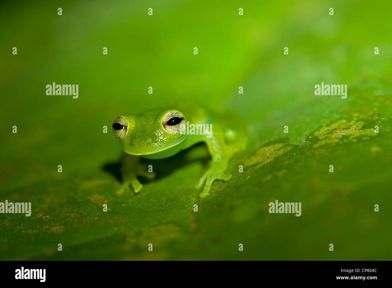 Glas Frosch Cochranella Midas, Verfassung Regenwald, Yasuni-Nationalpark in Ecuador Stockbild