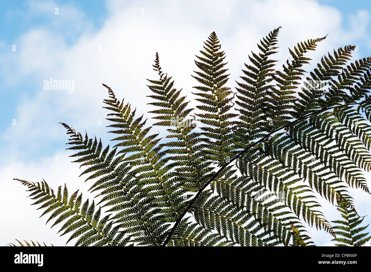 Baumfarn Wedel Muster gegen blauen Himmel Stockbild