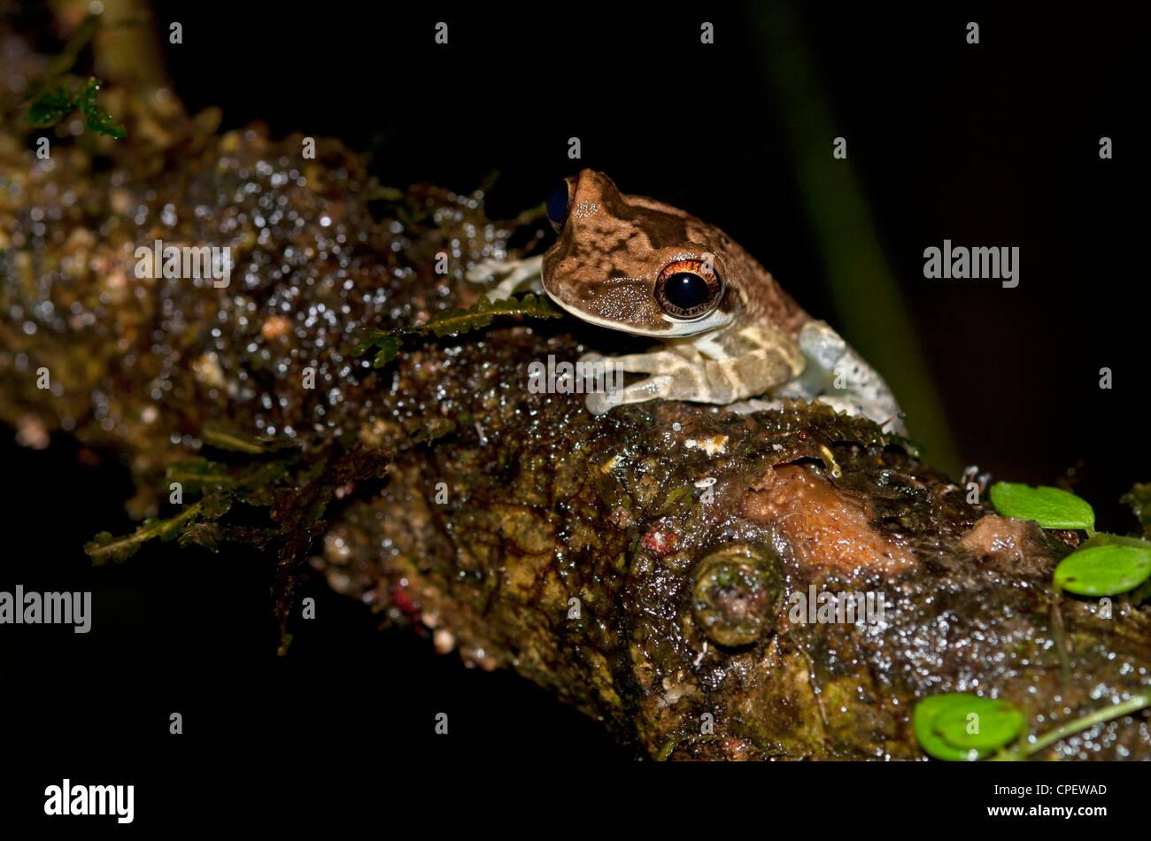 Osteocephalus sp., eine knöcherne - vorangegangen Treefrog, tiputini Regenwald, Yasuni Nationalpark, Ecuador Stockbild