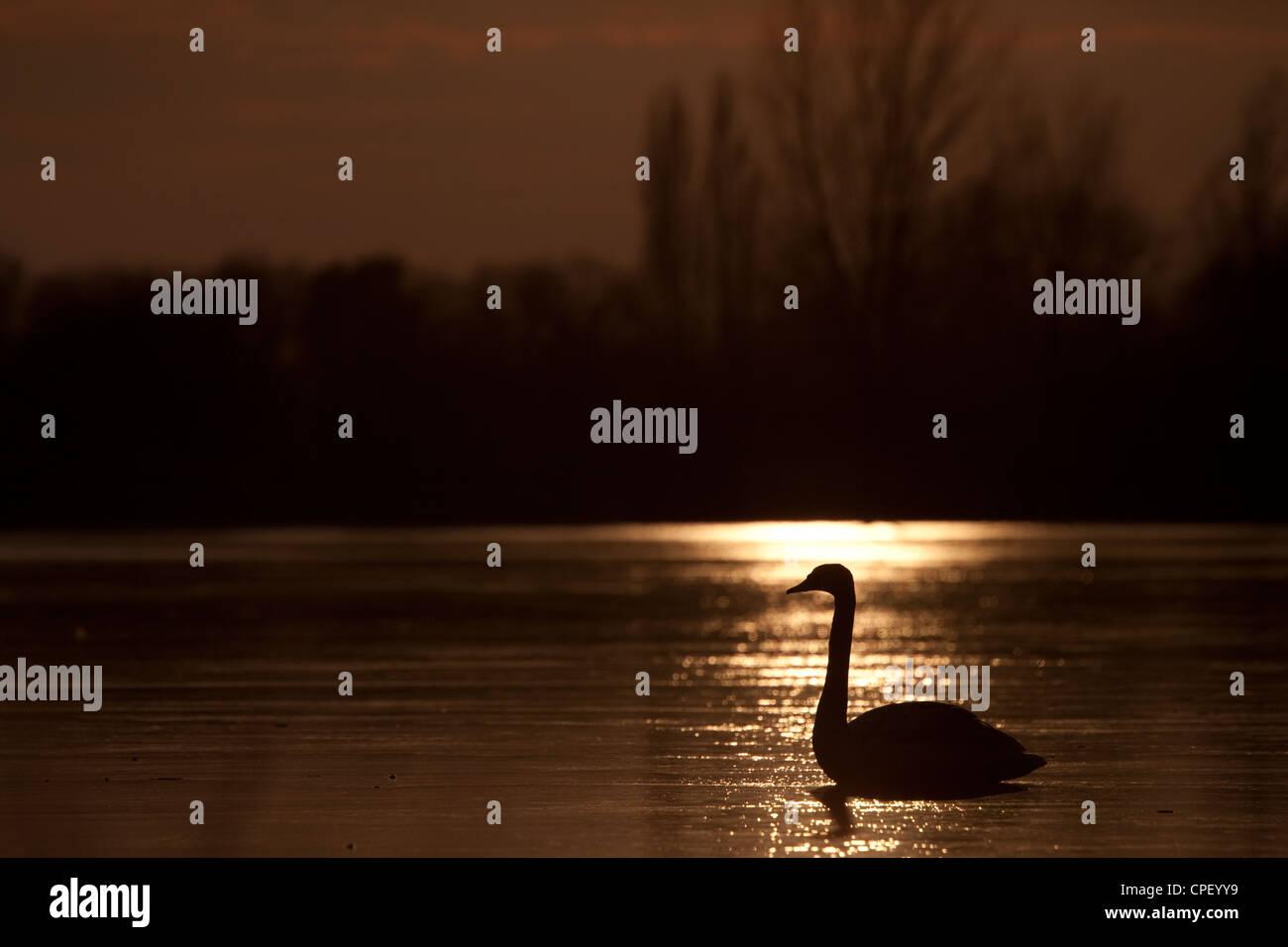 Schwan auf einem zugefrorenen See bei Sonnenuntergang. Kraaijenbergse Plassen, Niederlande. Stockbild