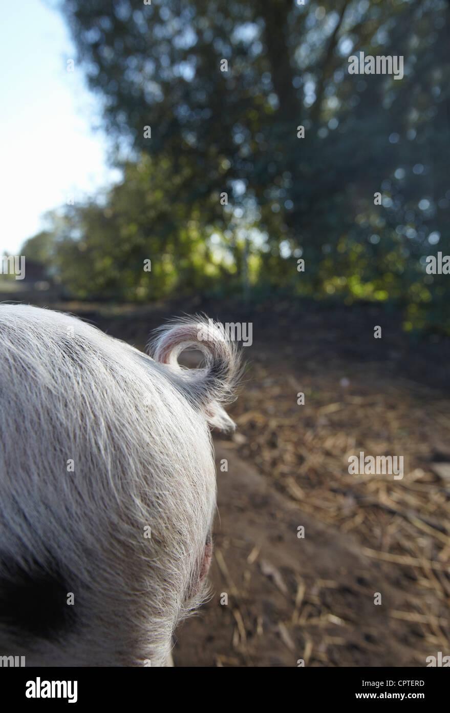 Schweine Tail, Nahaufnahme Stockbild