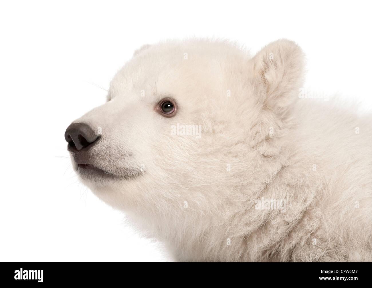 Polar Bear Cub, Ursus Maritimus, 3 Monate alt, vor weißem Hintergrund Stockbild