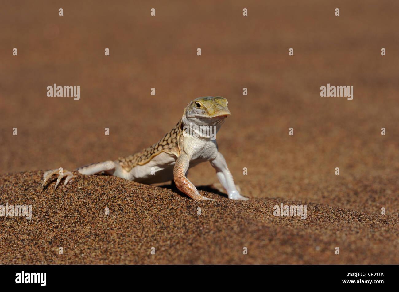 Schaufel snouted Lizard (Meroles Anchietae), Namib-Wüste, namibia Stockbild