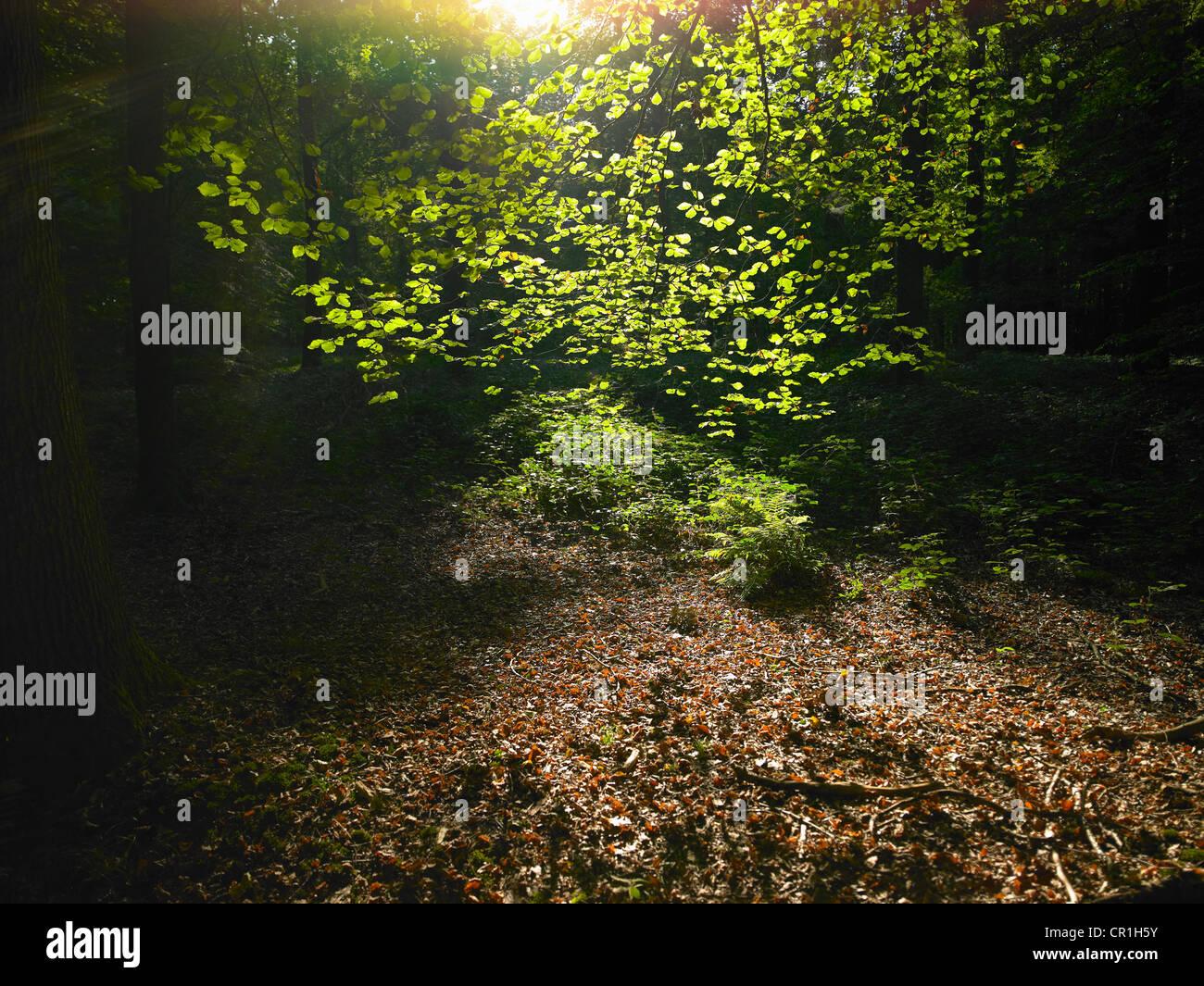Sonne durch die Blätter im Wald Stockbild