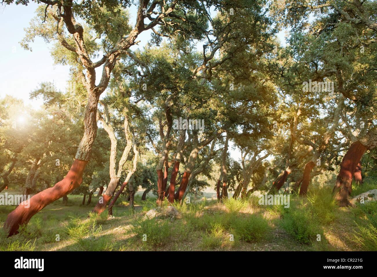 Abisolierten Korkeichen in ländlichen Wald Stockbild