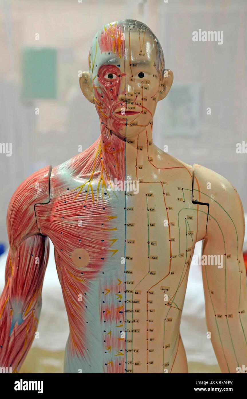 Akupunktur-Punkte auf eine menschliche anatomische Modell Stockfoto ...