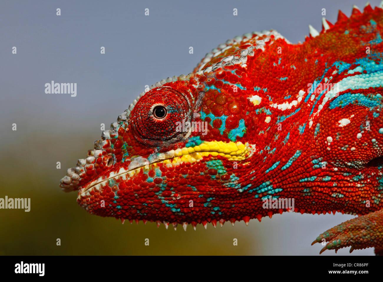 Pantherchamäleon (Furcifer Pardalis), Ambilobe-Ambilorama Farbabweichungen, Porträt, Madagaskar, Afrika, Stockbild