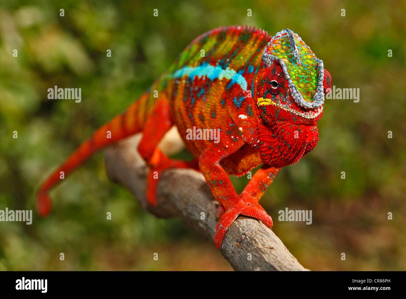 Pantherchamäleon (Furcifer Pardalis), Ambilobe-Ambilorama Farbe Variation, Madagaskar, Afrika, Indischer Ozean Stockbild
