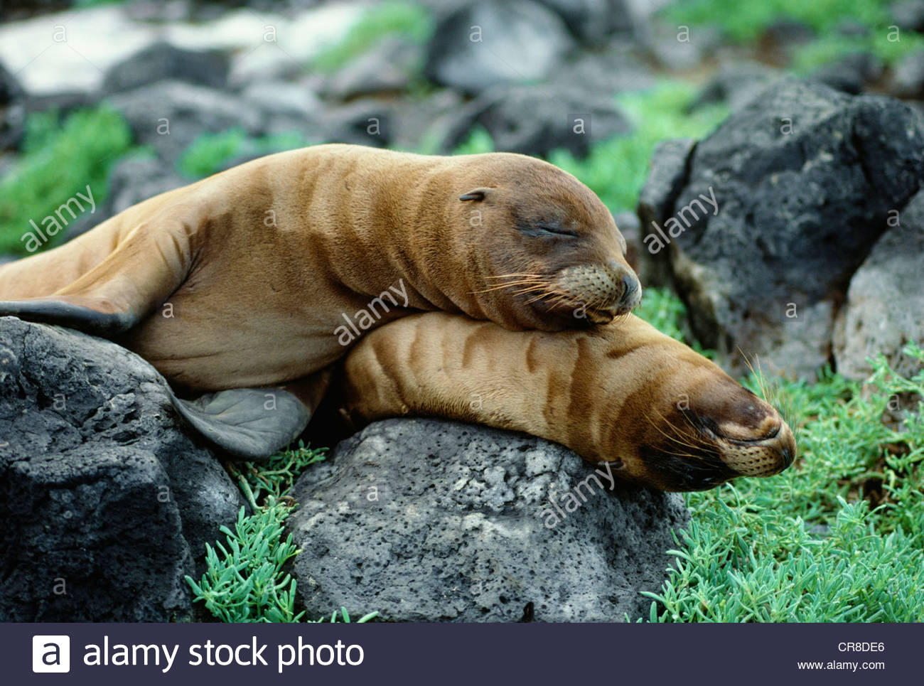 Galapagos Sea Lions, Galapagos-Inseln, Ecuador Stockbild