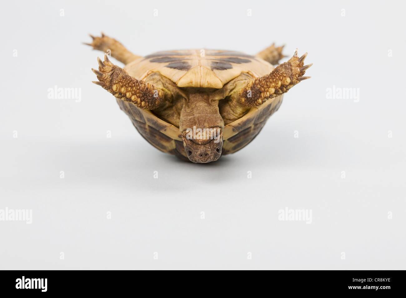 Schildkröte erschossen kopfüber, studio Stockbild