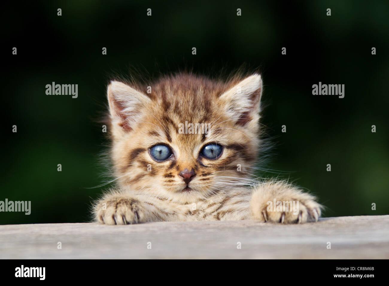 Kätzchen spähen über Zaun Stockbild