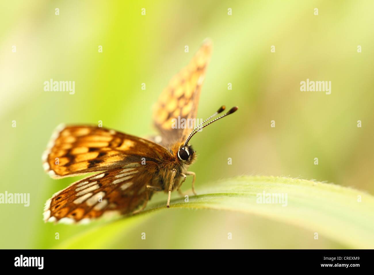 Herzog von Burgund Schmetterling im Bentley Holz, Wiltshire Stockbild