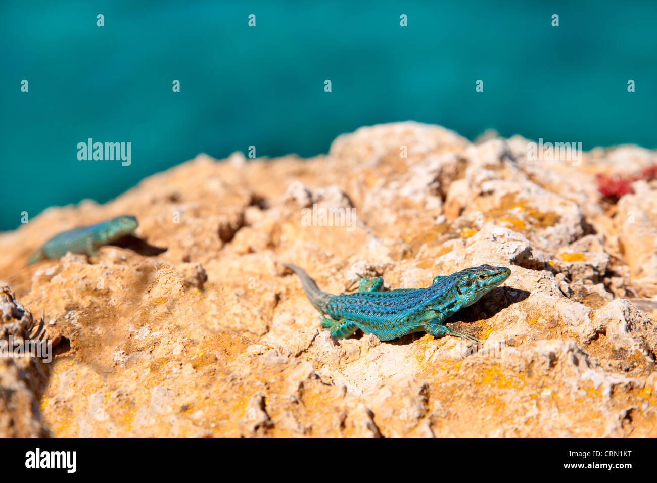 Formentera Eidechse paar am Meer Hintergrund Podarcis Pityusensis formenterae Stockbild