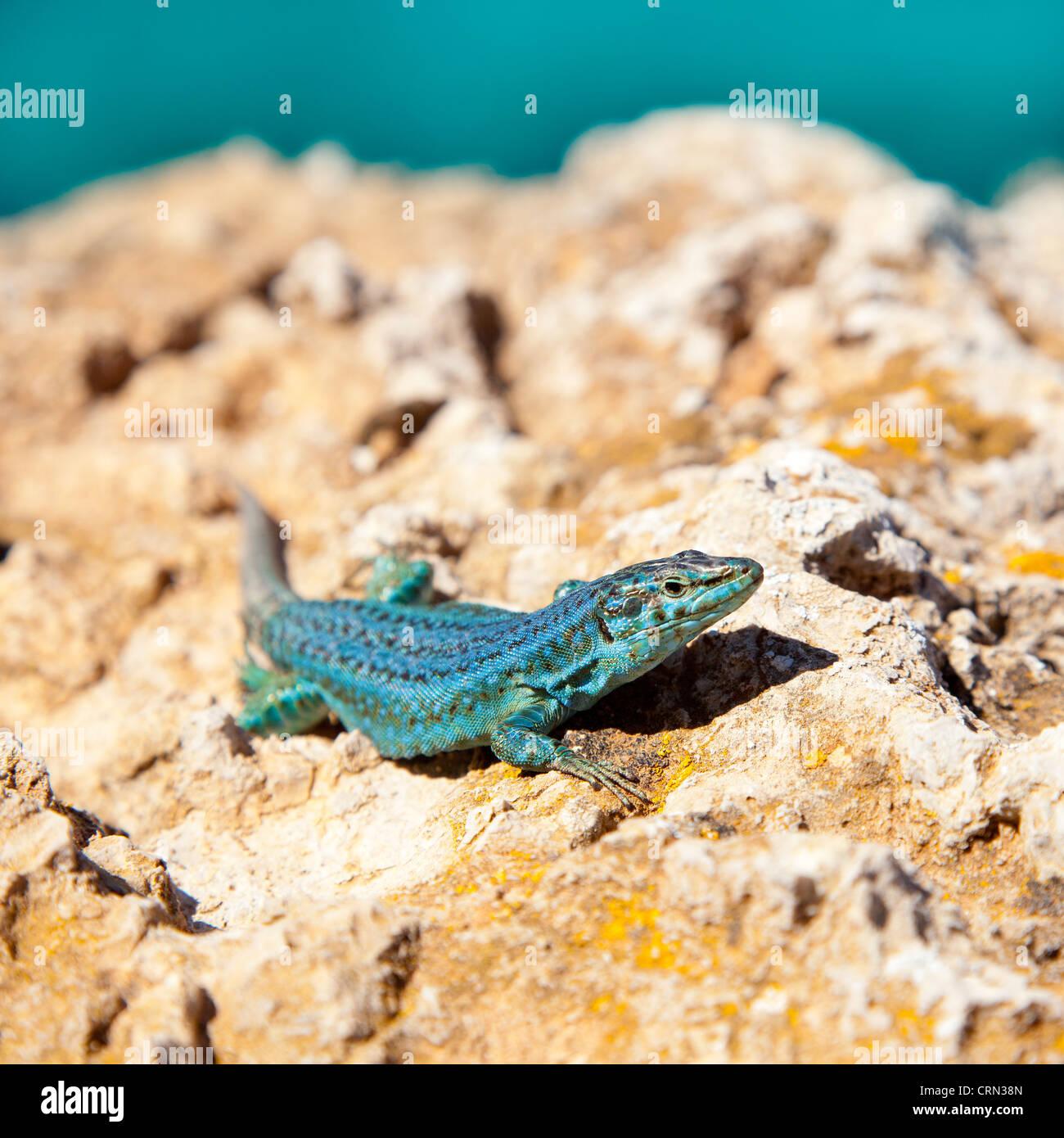 Formentera Eidechse auf Meer Hintergrund Podarcis Pityusensis formenterae Stockbild