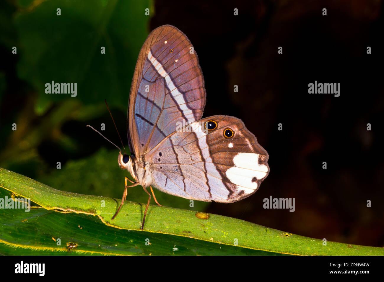 Schmetterling im Regenwald Unterwuchs, Ecuador Stockbild