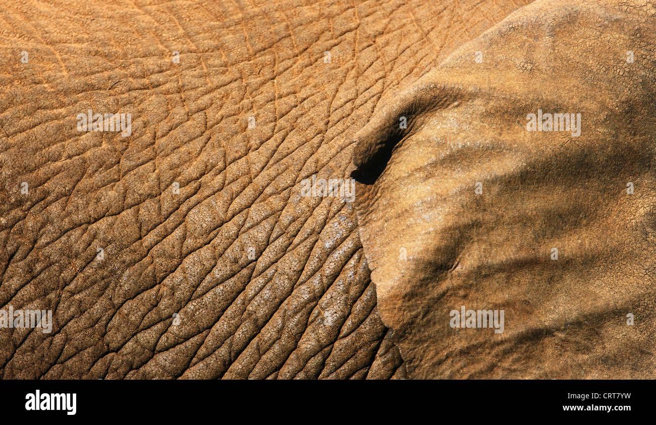 Afrikanischer Elefant Haut Textur Nahaufnahme mit einem Teil des Ohres zeigt (Addo Elephant National Park - Südafrika) Stockbild
