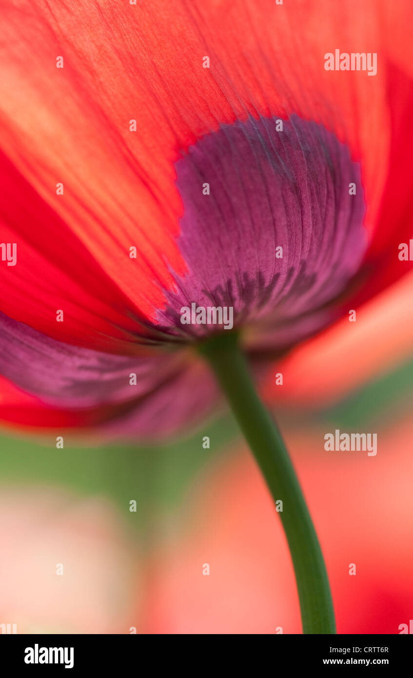 rote Mohnblume Stockfoto