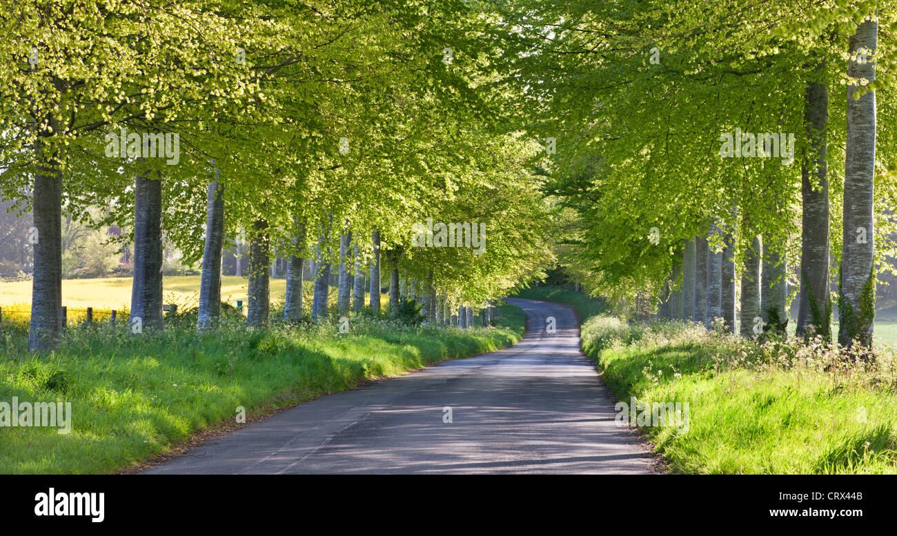 Buche, von Bäumen gesäumten Feldweg im ländlichen Dorset, England. Frühjahr 2012 (Mai). Stockbild