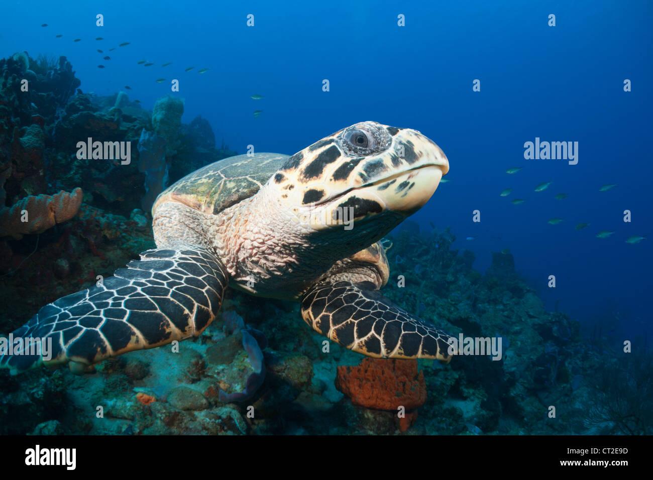 Hawksbill Turtle, Eretmochelys Imbriocota, Karibik, Dominica Stockbild