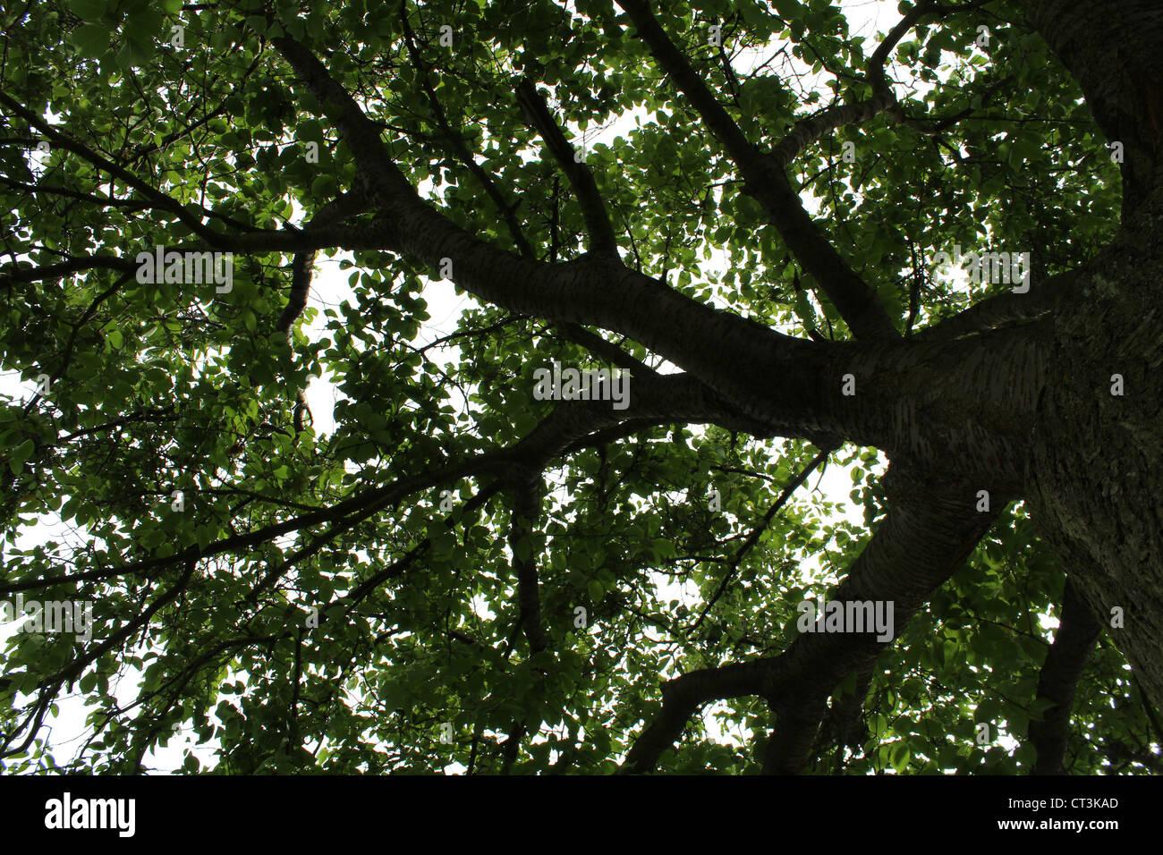 Die Dunkelheit der Baum (die Unterseite von einem alten Weidenbaum). Stockbild
