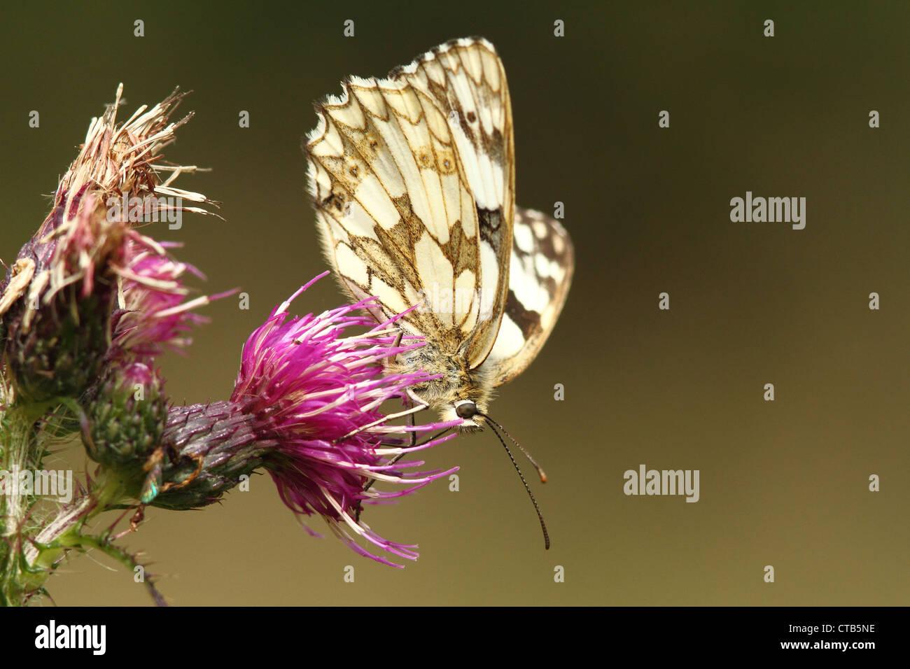 Schachbrettfalter Schmetterling im Bentley-Holz Stockbild