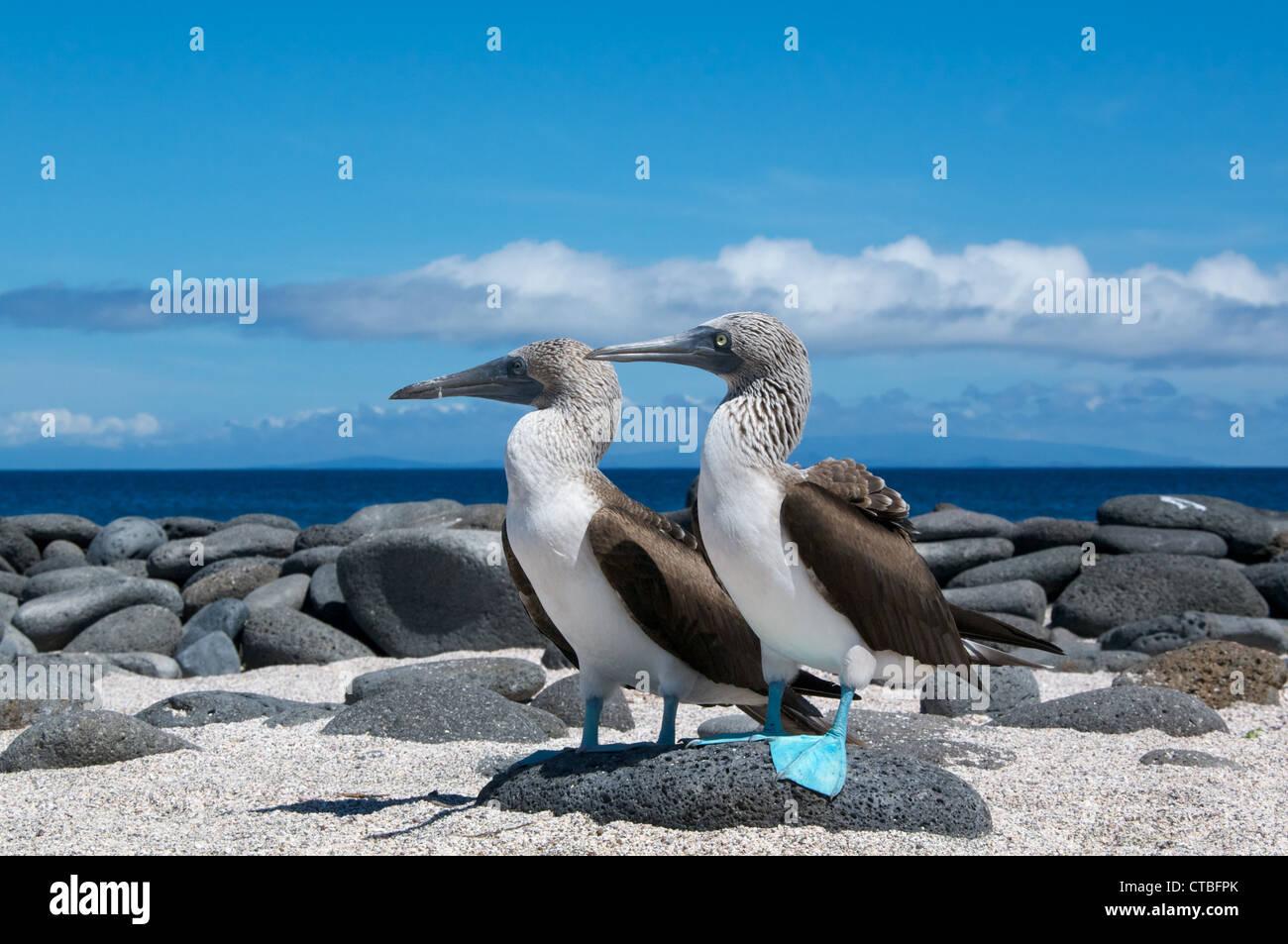 Ein paar der Blaufußtölpel (Sula Nebouxii) an einem schönen Strand von North Seymour Island, Galapagos Stockbild