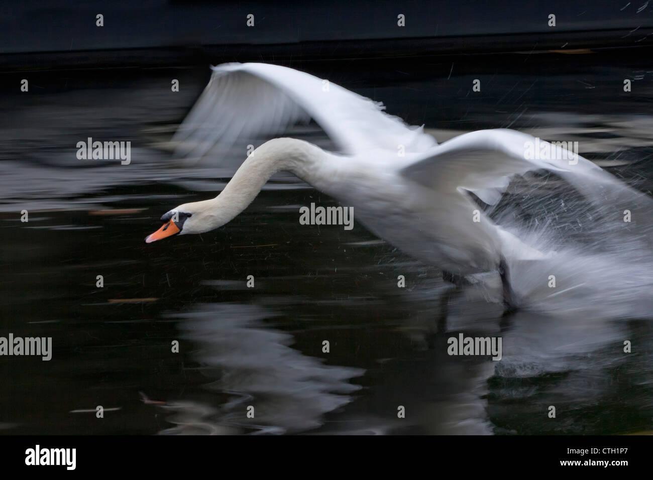 Den Niederlanden,'s-Graveland, Landung der Höckerschwan (Cygnus Olor). Stockbild