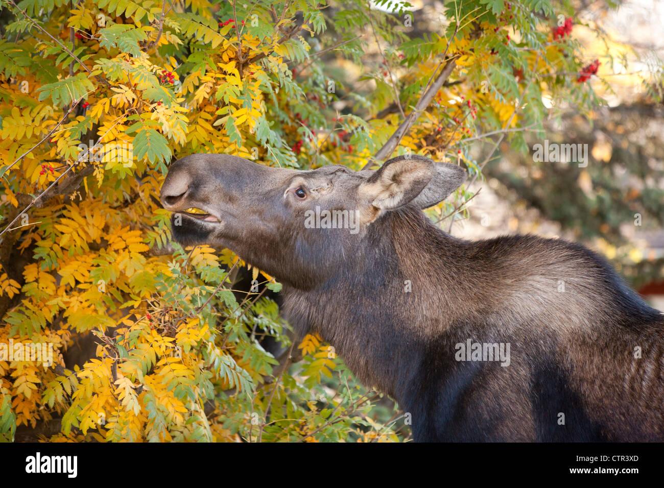 Elch Kuh frisst von Mountain Ash Bäumen in einer Nachbarschaft, Anchorage, Alaska Yunan, Herbst Stockbild
