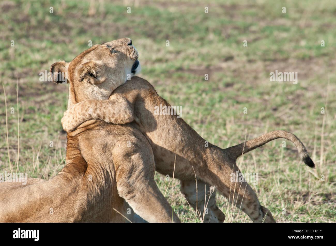 Löwenjunges umarmt Mutter Löwin, Panthera Leo, Masai Mara National Reserve, Kenia, Afrika Stockbild