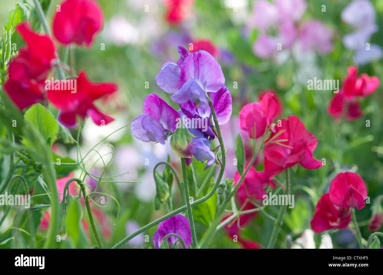 bunte Duftende Platterbse Blumen im englischen Garten Stockbild