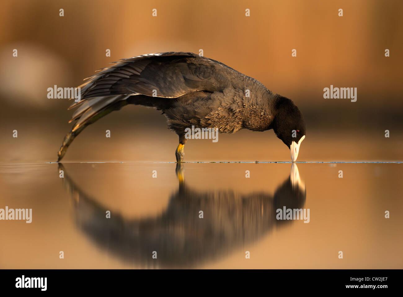 Eurasische Blässhuhn (Fulica Atra) hungrig Stockbild