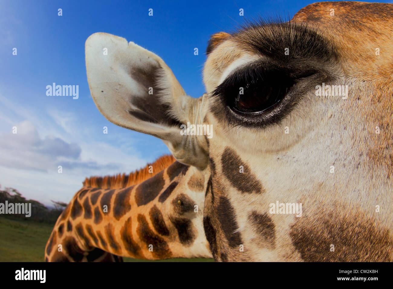 Nahaufnahme der Rothschild-Giraffen (Giraffa Plancius Rothschildi) Auge. Stockbild