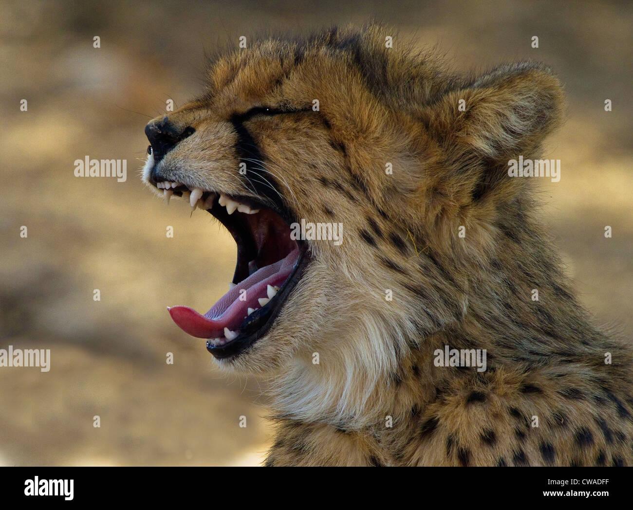Gepard Cub Gähnen, Kgalagadi Transfrontier Park, Afrika Stockbild