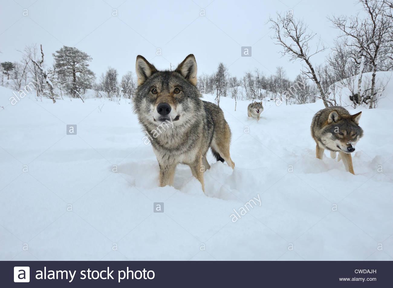 Drei Wölfe kommen in Polar Zoo, in der Nähe fotografiert mit einem Weitwinkel-Objektiv Stockbild