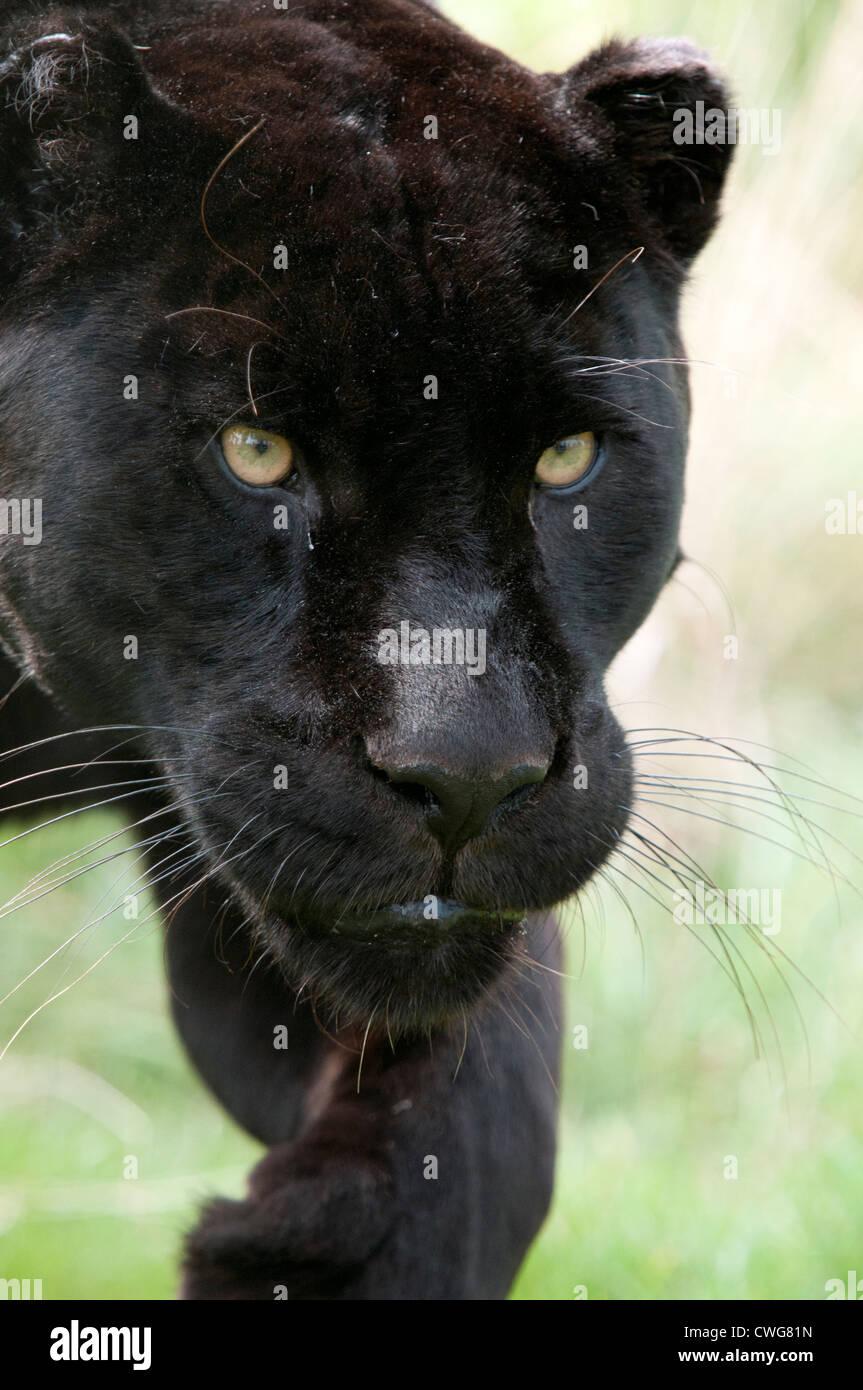 Weiblicher schwarzer Jaguar (Nahaufnahme) Stockbild