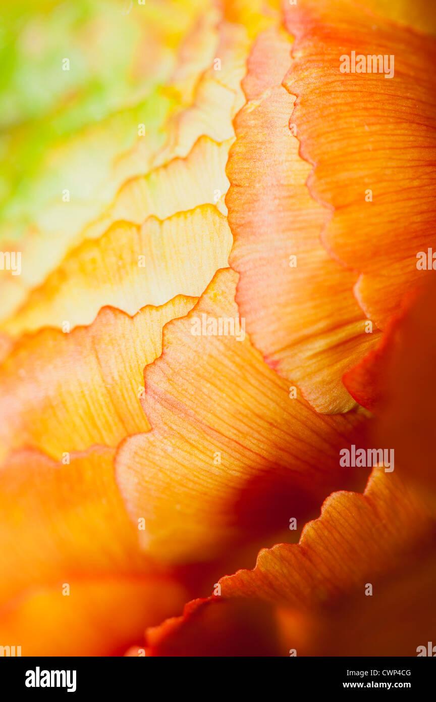 Ranunculus Blütenstand, extreme Nahaufnahme Stockfoto