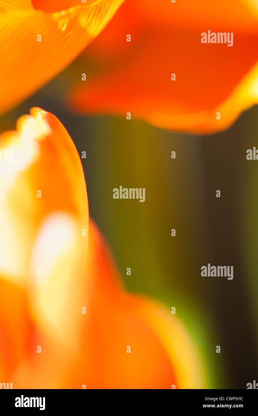Ranunculus Blütenblätter, extreme Nahaufnahme Stockbild