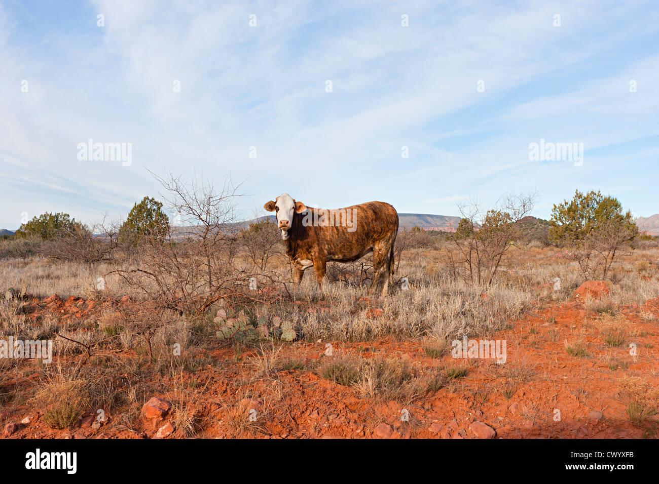 Ein Stier in Sedona Arizona Stockbild