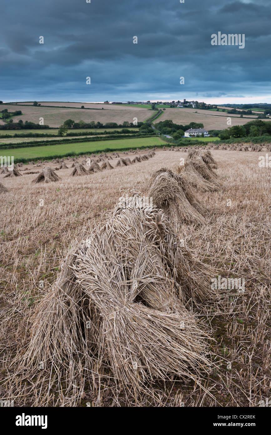 Traditionelle Weizen Stooks geerntet für thatching, Coldridge, Devon, England. (August) im Sommer 2012. Stockbild