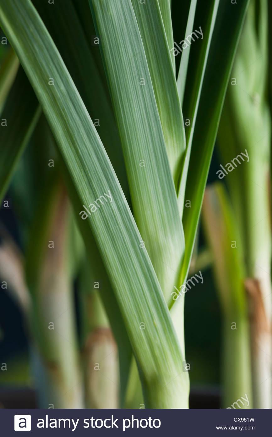 Lauch-König Richard Allium Porum Sommer Gemüse grün Bio selbst angebauten Stammcontainer September Stockbild