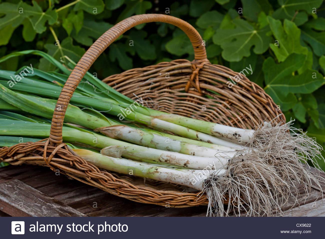 Lauch-König Richard Allium Porum Sommer Gemüse grün Bio nach Hause angebaut Stammcontainer September Stockbild