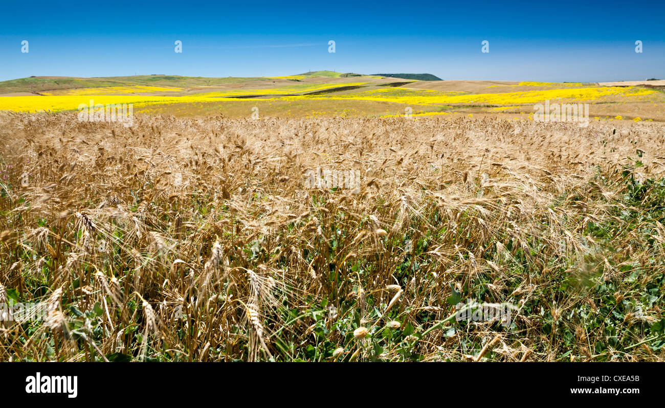 Unkraut im Weizen und Sommer Felder, Cádiz, Andalusien, Spanien, Europa Stockbild