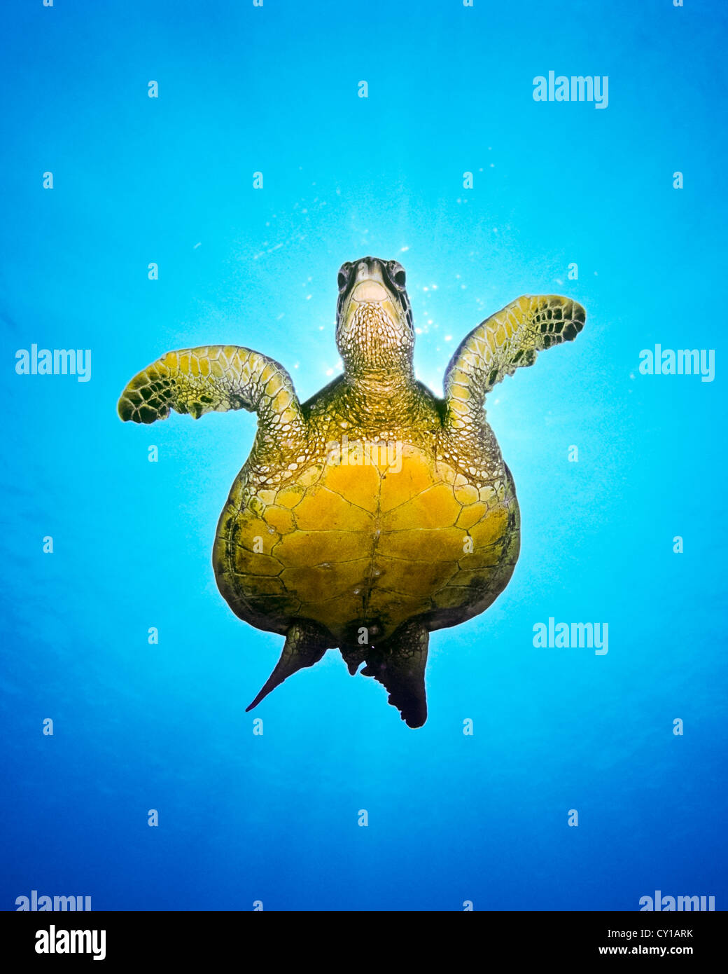 Green Sea Turtle, Chelonia Mydas, Big Island, Hawaii, USA Stockbild