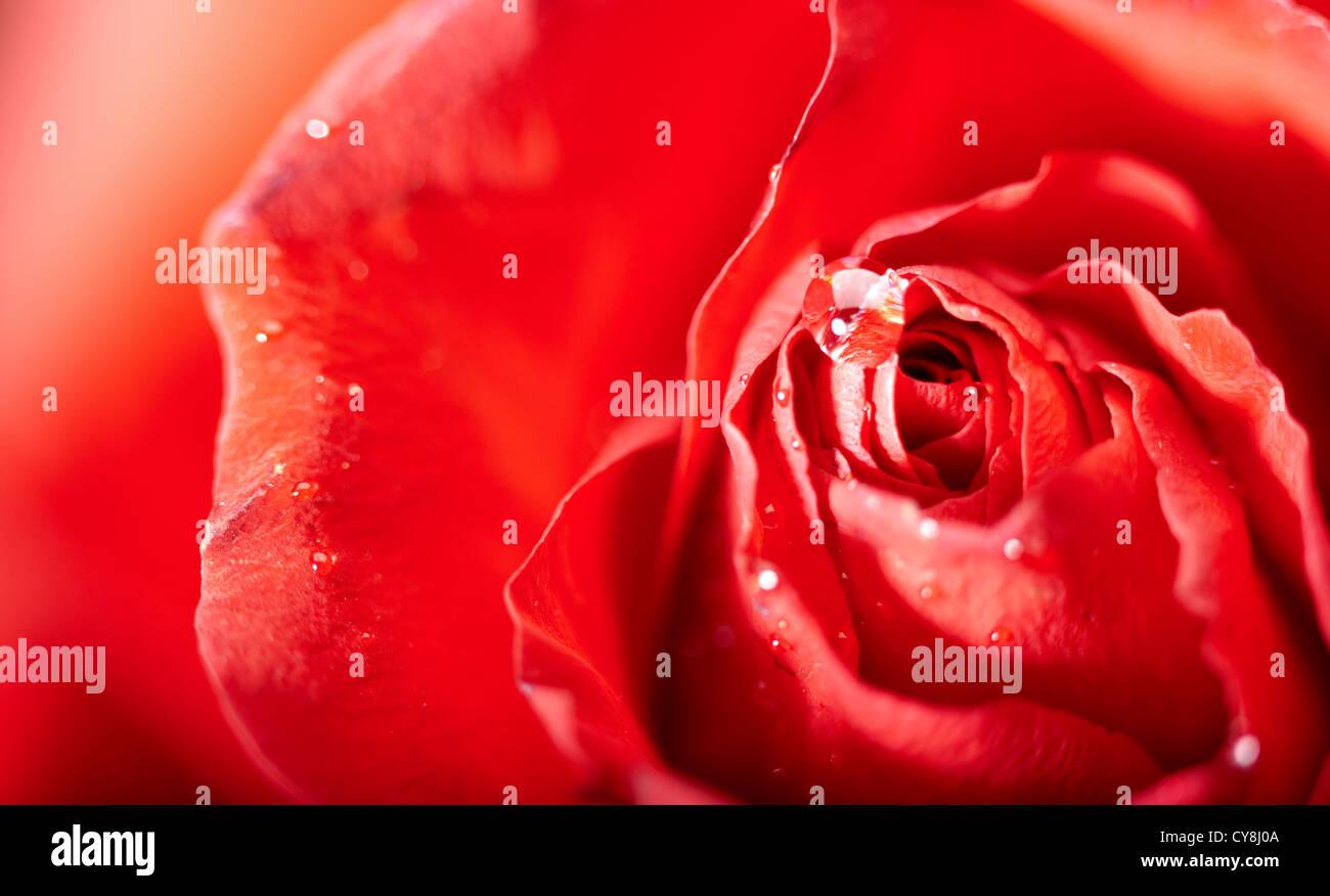 rote Rosenblüten mit Wassertropfen. abstrakt Stockfoto