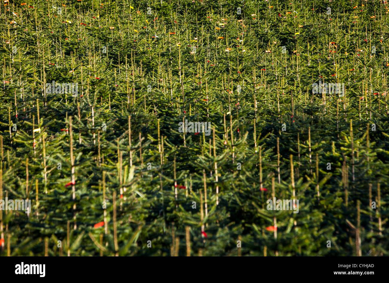 Wald, Bäume im Herbst, Herbst. Sauerland, einem nordwestlichen Region in Deutschland, Europa. Stockbild